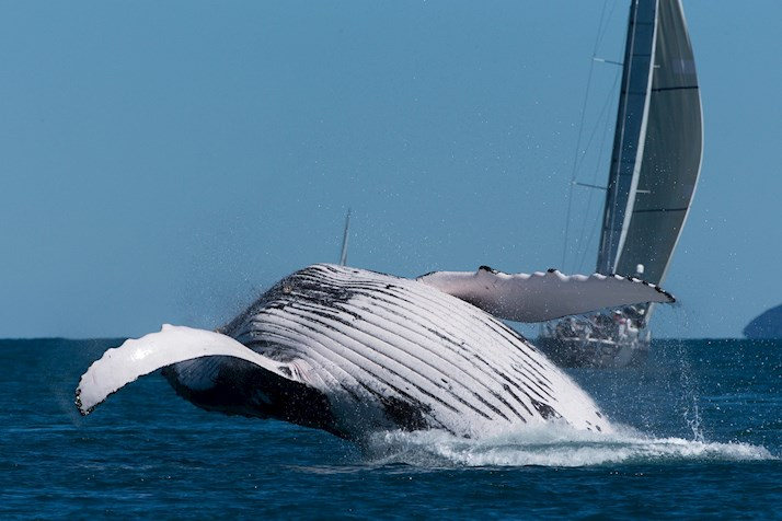Whale at the Audi Hamilton Island Race Week 2014